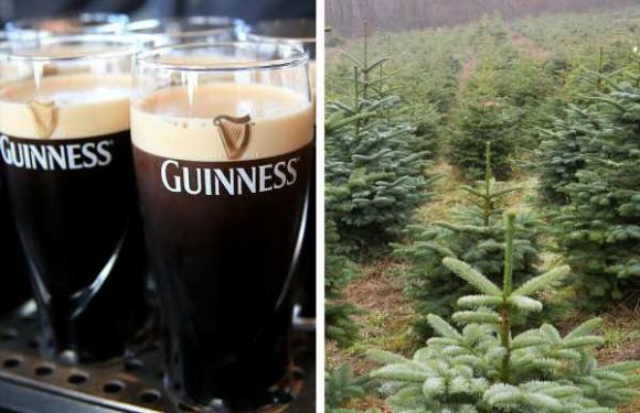 Kegs of Unused Guinness Are Getting a Surprising Makeover …into Fertilizer for Christmas Trees